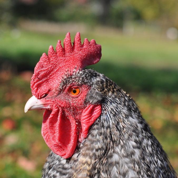 22 aurifil designer rooster