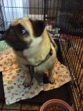 Pug on a Kennel Quilt